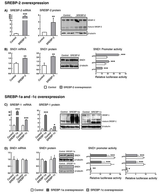 SND1 gene transcription is dependent on the cellular SREBP levels.
