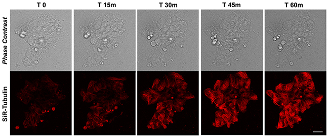 Time-lapse SiR-Tubulin probe in proliferating iPSCs.