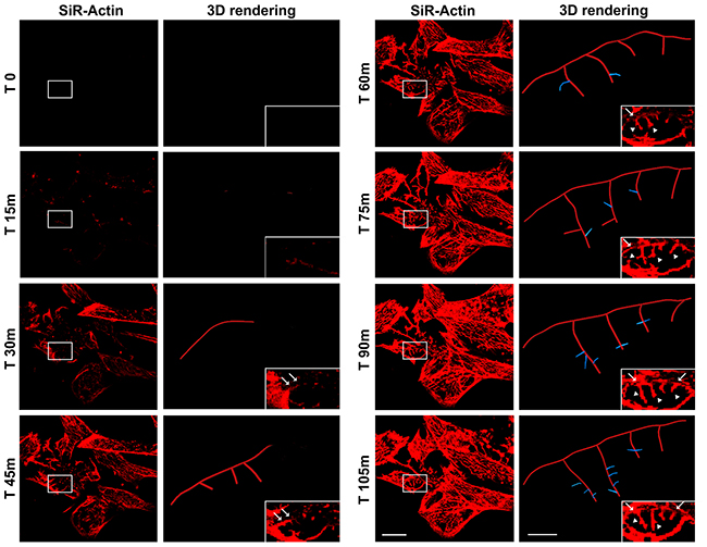 Time-lapse of SiR-Actin probe in iPSC-derived neurons (left column) and 3D rendering (right column) of dendrites and spines, visualized in high magnification of the insets, using Imaris - Filament module.