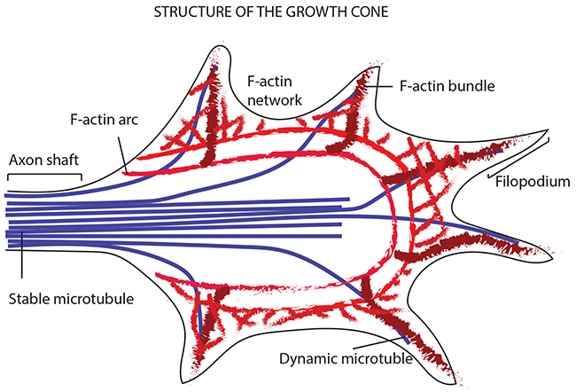 Model showing the way a growth cone senses the neighboring environment and organizes its cytoskeleton in terms of actin filaments and MTs.