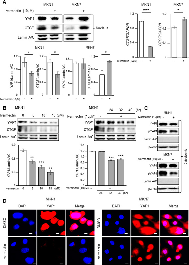Ivermectin inhibited the nuclear accumulation of YAP1 in vitro.