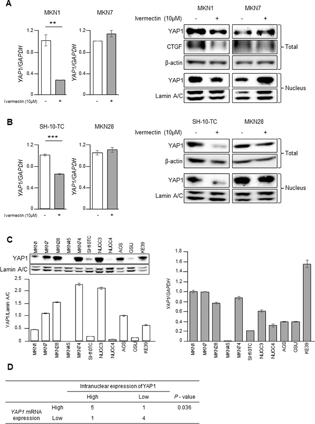 Ivermectin inhibited YAP1 expression by suppressing YAP1 mRNA levels in GC.