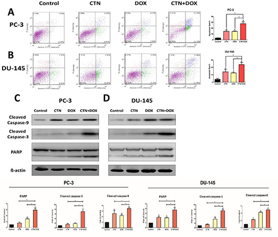 Costunolide enhanced doxorubicin to induce apoptosis in PC-3 and DU-145 cells.