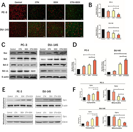 Costunolide enhanced doxorubicin to induce apoptosis through activating mitochondrial pathway in PC-3 and DU-145 cells.