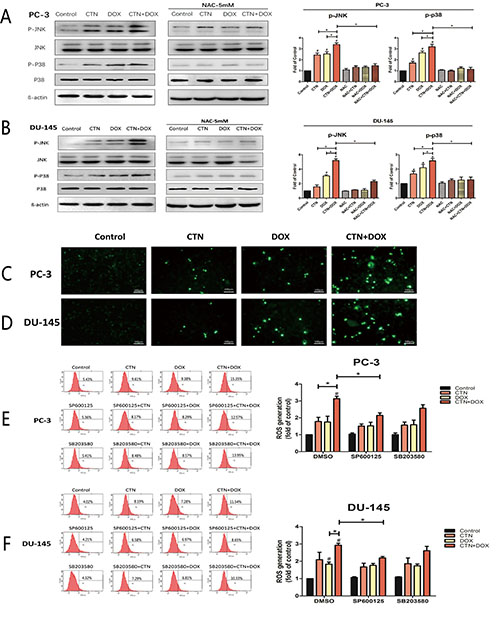 Involvement of p38 and JNK in ROS induction by the combination of costunolide and doxorubicin.