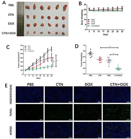 Costunolide enhanced doxorubicin to inhibit PC-3 tumor growth in athymic nude mice via induction of apoptosis.