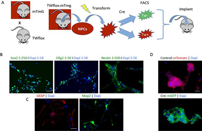 Floxed TW mouse glioma model.