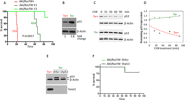Deletion of TW in Akt/Ras transformed TWflox:mTmG NPCs by constitutive Cre expression nearly completely inhibits tumorigenesis independent of p53 stabilization.