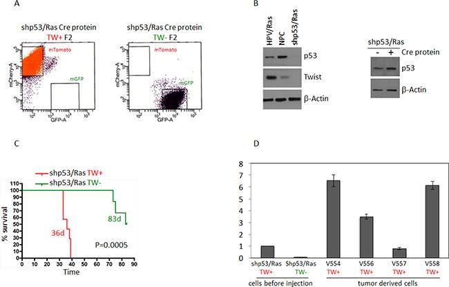 Deletion of TW in shP53/Ras transformed NPCs prolongs survival.