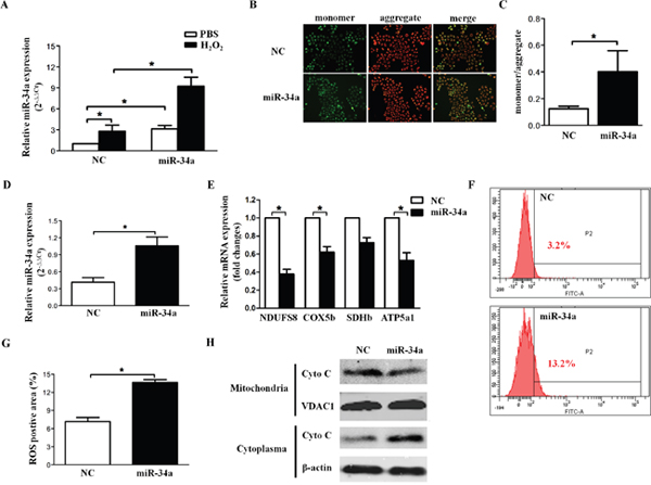 miR-34a disrupts mitochondrial biogenesis in HLECs.