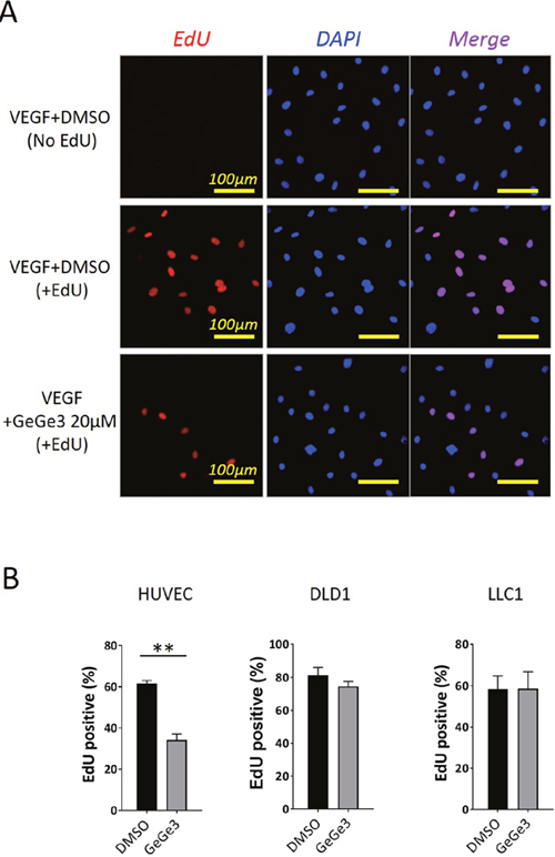 Effect of GeGe3 on endothelial cell proliferation and survival.