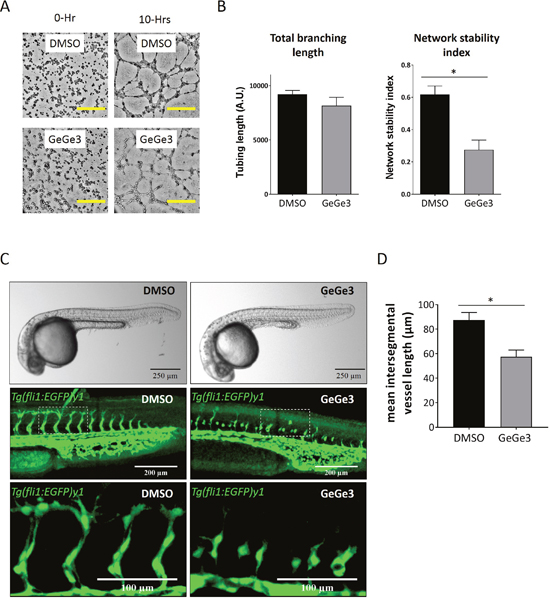 GeGe3 impaired tube formation in vitro and intersegmental angiogenesis of Tg(fli1:EGFP)y1 zebrafish embryos in vivo.