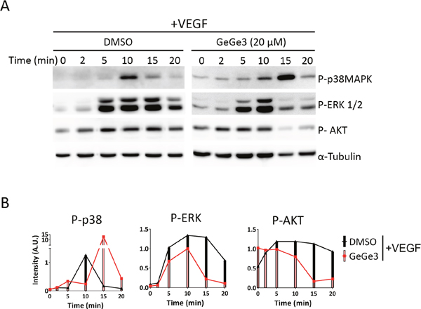 Effect of GeGe3 on VEGF-induced activation of p38MAPK, P-ERK and AKT.