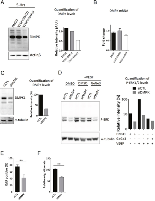Downregulation of DMPK protein by GeGe3 impairs HUVEC proliferation and migration.