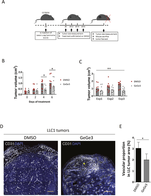 Effect of GeGe3 on LLC1 angiogenesis and tumor development.