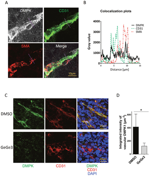 Effect of GeGe3 on DMPK expression in LLC1 vasculature.