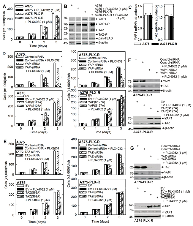 YAP1 and TAZ levels are elevated in A375-PLX-R cells and confer resistance to PLX4032.