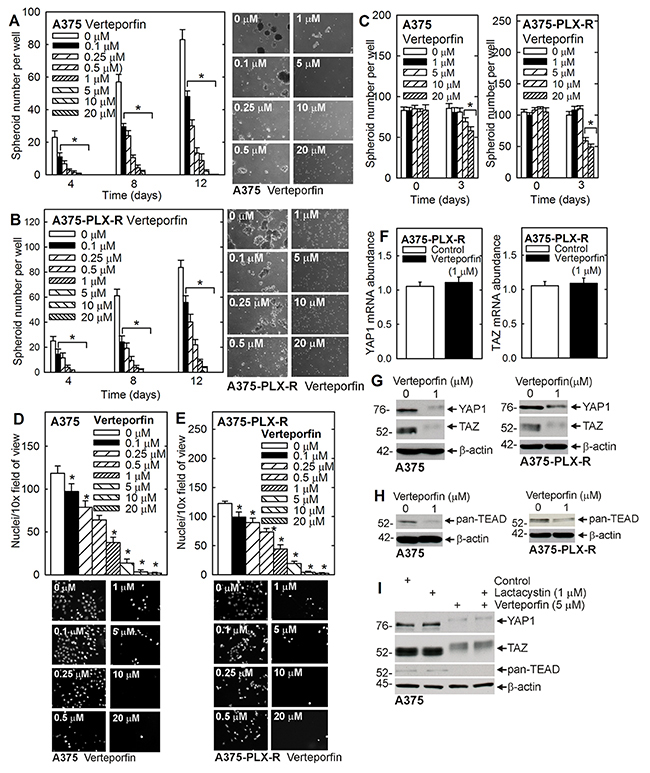 Verteporfin suppression of spheroid formation and invasion is associated with reduced YAP1/TAZ level.