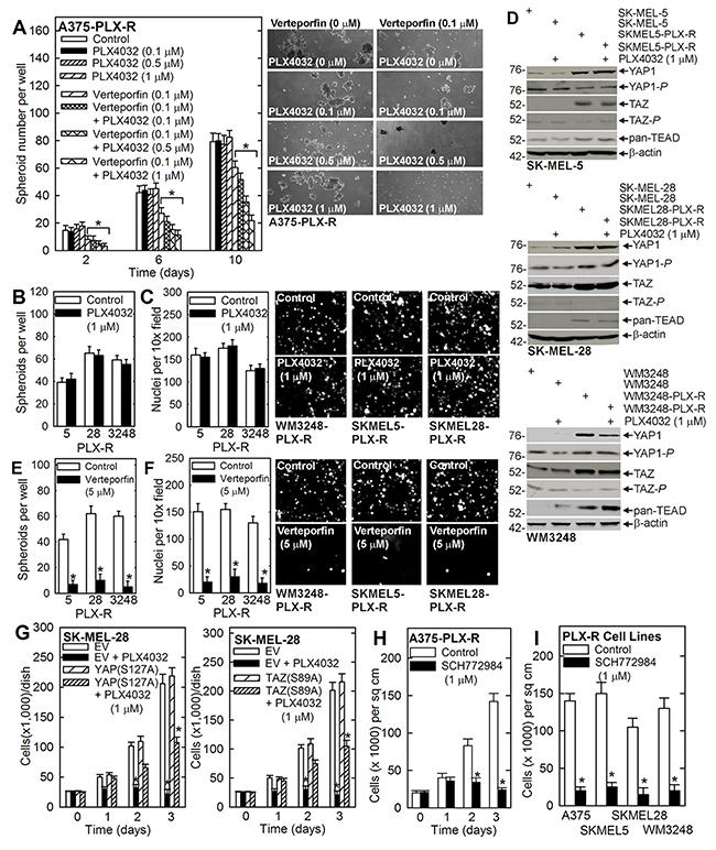 Verteporfin impact on other PLX4032-resistant melanoma cancer cells.