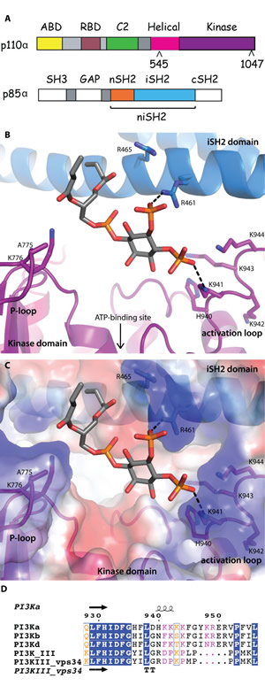 Fig 1: Lipid-binding in PI3K.