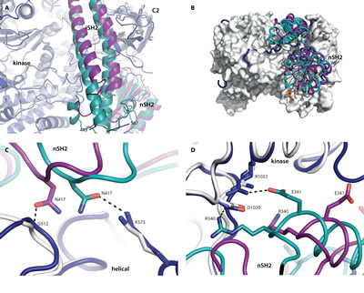 Fig 3: Wild-type p110α has more interactions with the nSH2 domain than the oncogenic mutant H1047R.