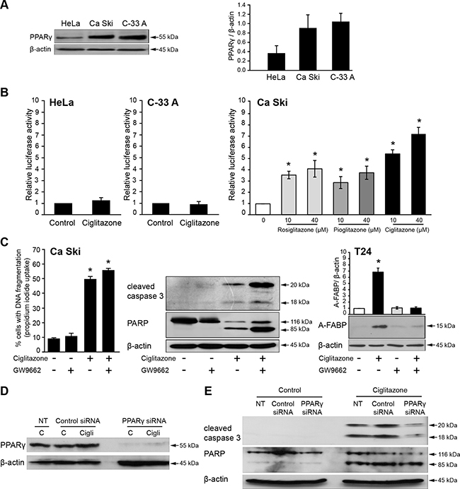 PPARγ-independent effects of ciglitazone in Ca Ski cells.