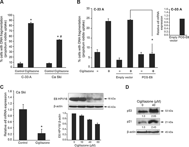 Ciglitazone-mediated Ca Ski cell apoptosis is associated with E6 downregulation.