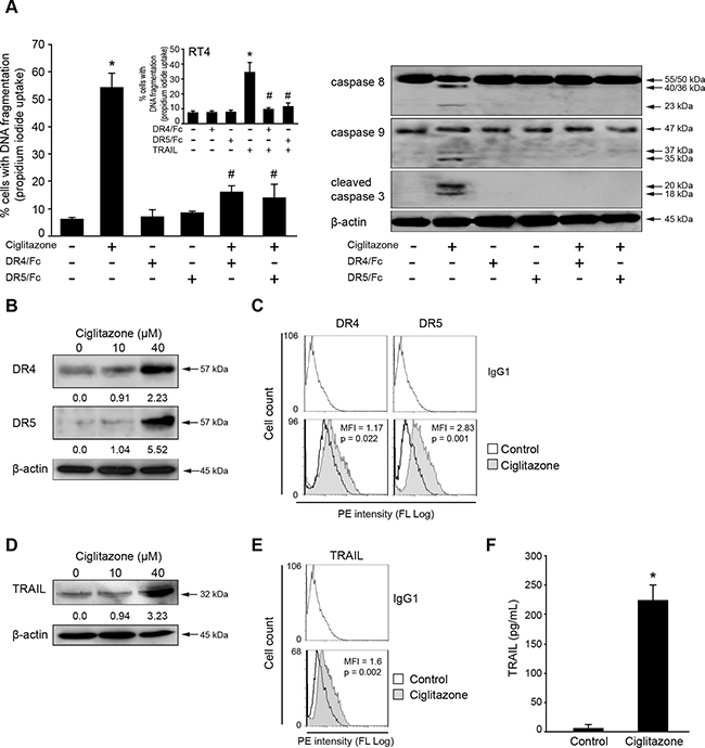 Ciglitazone triggers apoptosis through DR4 and DR5 signalling pathway.