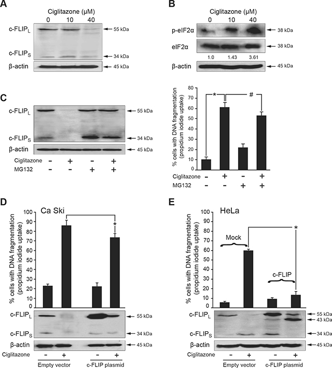 Down-regulation of c-FLIP is involved in ciglitazone-mediated apoptosis.