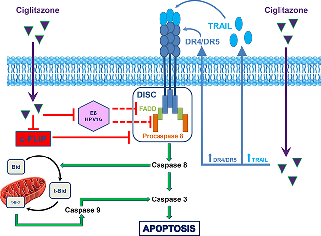 Schematic summary of ciglitazone action on TRAIL-resistant Ca Ski cervical cancer cells.