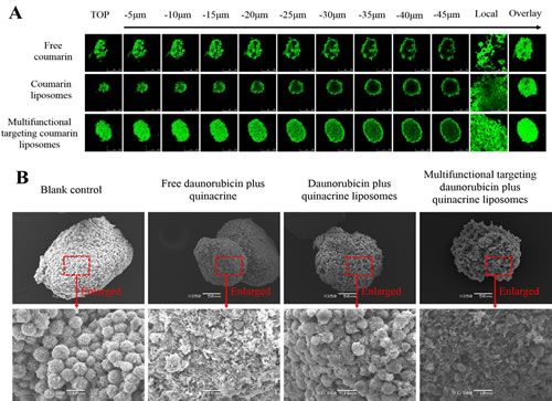 Fig.6: Penetrating ability and destructing effects in GSCs spheroids.