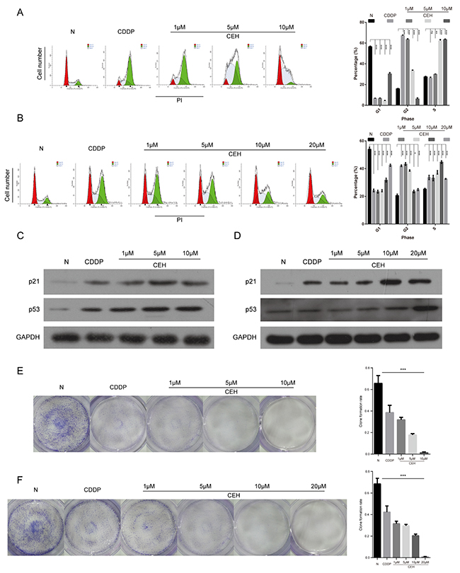 Induction of cell cycle arrest and inhibition of cell proliferation by cisplatin (cDDP) alone and combined with cepharanthine hydrochloride (CEH) in esophageal cancer cell lines.