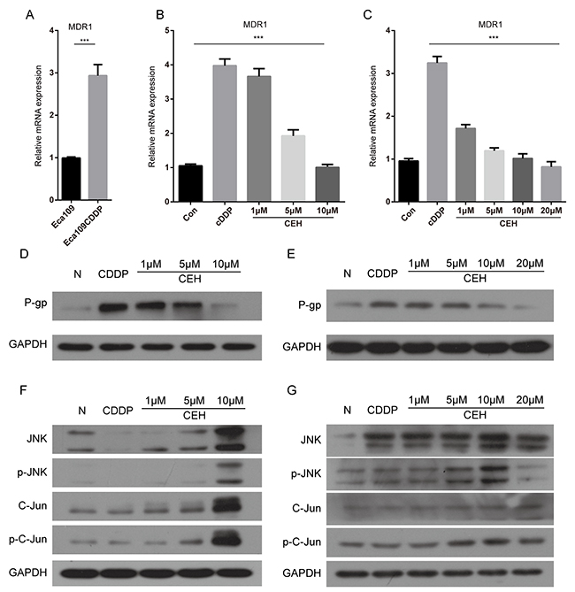 Cepharanthine hydrochloride (CEH) dose-dependent reduction of p-gp mediated drug resistance in esophageal cancer cell lines.