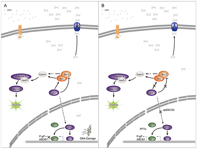 A simplified model of the mechanisms underlying antitumor effects of cepharanthine hydrochloride (CEH) combined with cisplatin in esophageal squamous cell carcinoma.