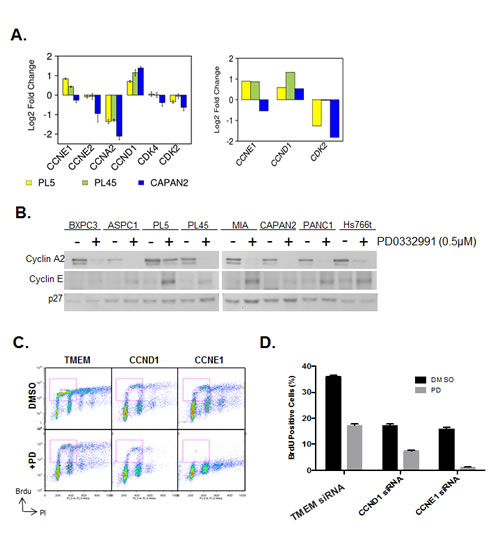 CDK4/6 inhibition induces aberrant expression of CCNE1 and CCND1.