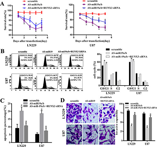 MiR-19a/b inhibition could repress proliferation, invasion, induce cell cycle G0/G1 arrest and promote cell apoptosis whereas these effects were partly reversed by downregulating the expression of the target gene RUNX3 in LN229 and U87 cell lines.