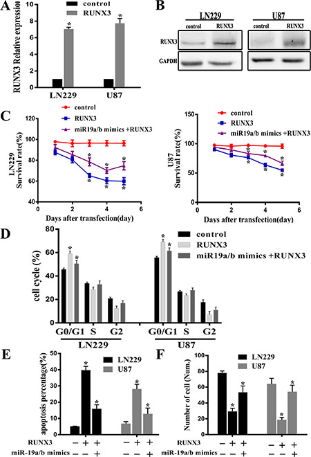 RUNX3 restoration partly reverses the tumorigenic effects of miR-19a/b.