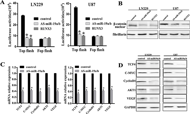 MiR-19a/b abrogation represses the β-catenin/Tcf-4 transcriptional activity.