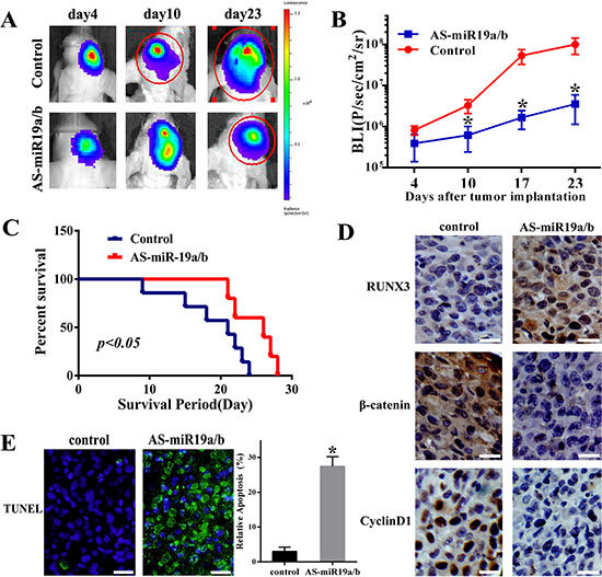Knockdown of miR-19a/b expression suppresses U87 tumor growth in vivo.