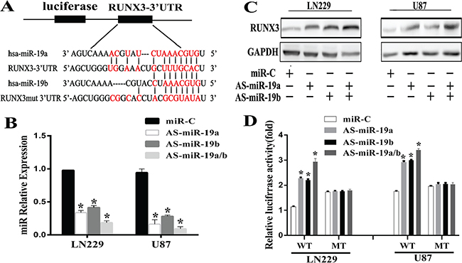 RUNX3 is a direct target of miR-19a/b in glioma cells.