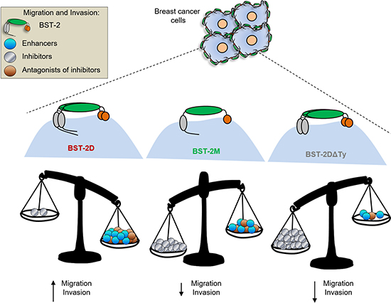 Model of BST-2-induced cell motility: BST-2 in breast cancer cells initiate intracellular events that enhance cancer cell migration and invasion.