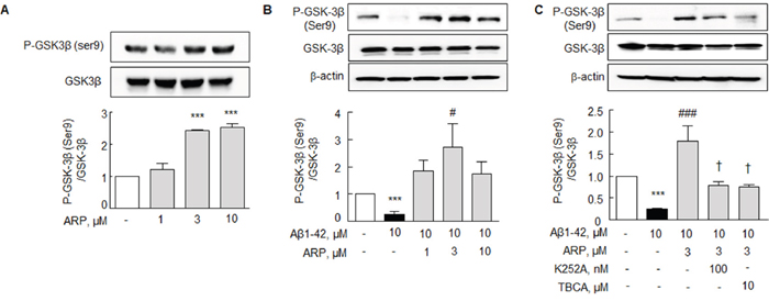 Aripiprazole stimulation of P-GSK-3β (Ser 9) in N2a cells.