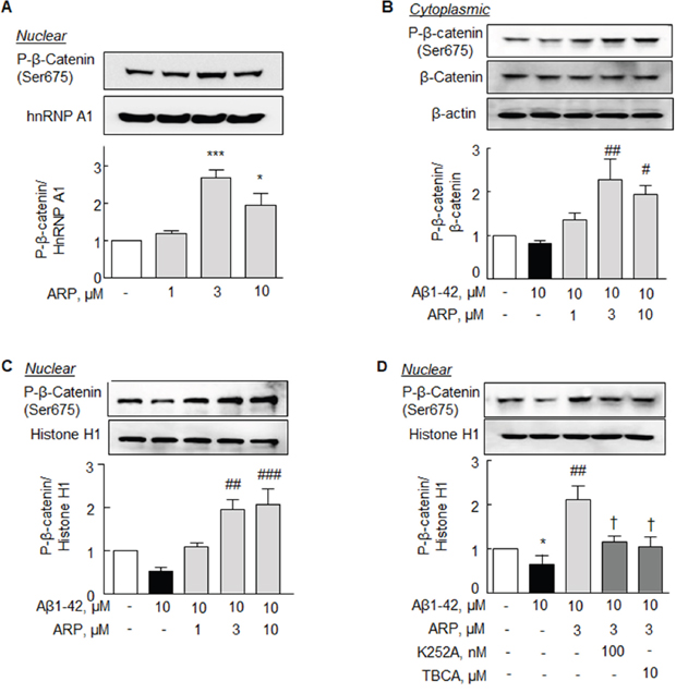 Increase in P-β-catenin at Ser 675 by aripiprazole treatment in the N2a cells.