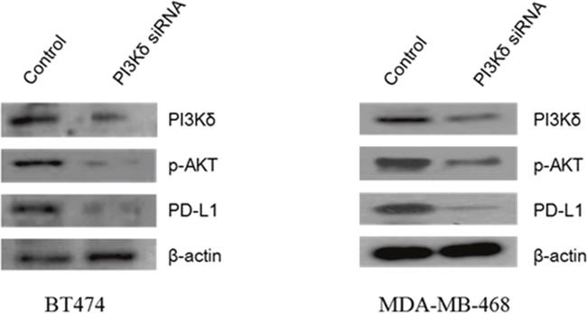 Effect of PI3Kδ inhibition on expression of phosphorylated (p)-AKT and PD-L1 in BT474 and MDA-MB-468 cells.