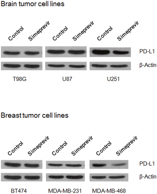 Effect of simeprevir on PD-L1 expressions in various brain and breast tumor cell lines.
