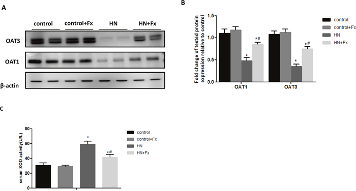 Febuxostat reversed the expression of OAT1 and OAT3 and increased serum XOD activity in hyperuricemic rats.