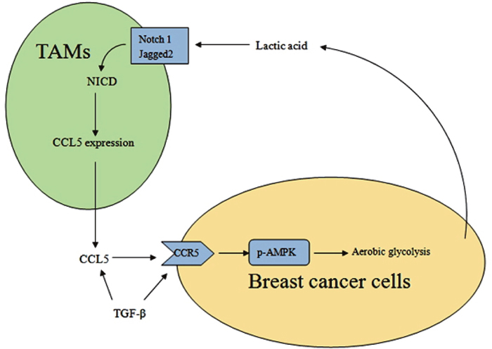 A schematic representation of the metabolic interaction between TAMs and breast cancer cells.