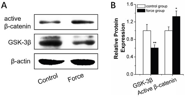 Wnt/β-catenin signal pathway analysis in BMSCs under strain.