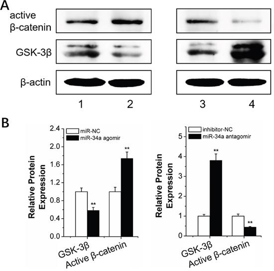 MiR-34a regulation of the Wnt/β-catenin signal pathway.