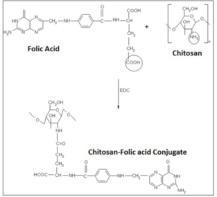 The chemistry of CS-FLA conjugate formation.